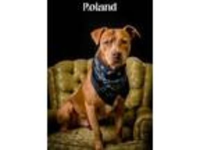 Adopt Roland a Tan/Yellow/Fawn American Pit Bull Terrier / Mixed dog in North