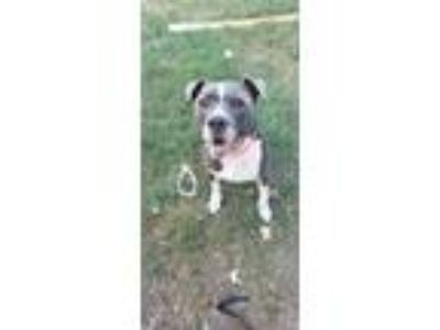 Adopt Champ a Pit Bull Terrier, Mixed Breed