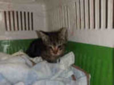 Adopt GRITS a Brown Tabby Domestic Shorthair / Mixed (short coat) cat in Los