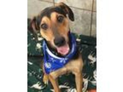 Adopt Roscoe a Black Doberman Pinscher / Hound (Unknown Type) / Mixed dog in