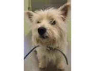 Adopt Sony a West Highland White Terrier / Westie, Mixed Breed