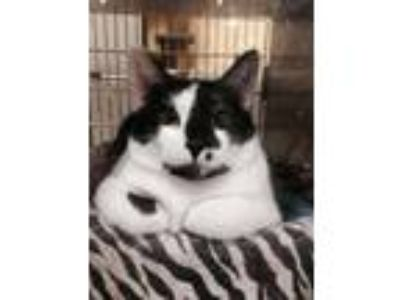 Adopt Tori a Domestic Short Hair