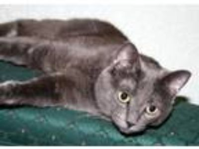 Adopt Lovely a Domestic Short Hair
