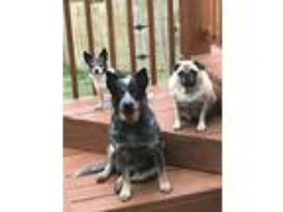 Adopt Buck a Gray/Blue/Silver/Salt & Pepper Australian Cattle Dog / Mixed dog in