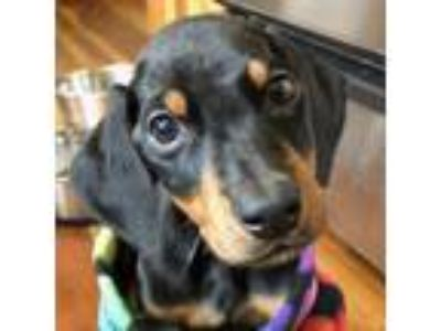 Adopt Drogon a Black - with Tan, Yellow or Fawn Doberman Pinscher / Mixed dog in