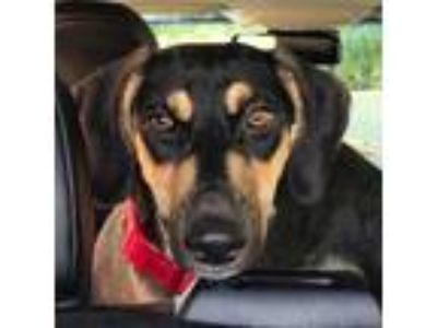 Adopt Matthew a Black - with Tan, Yellow or Fawn German Shepherd Dog / Saluki /