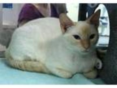Adopt Bianca a White Domestic Mediumhair / Domestic Shorthair / Mixed cat in