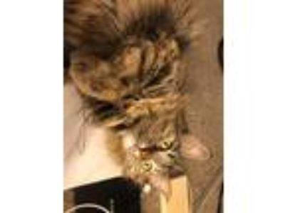 Adopt Honey a Brown or Chocolate (Mostly) Domestic Longhair cat in Indio
