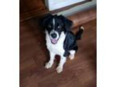 Adopt Indie a English Springer Spaniel, Border Collie