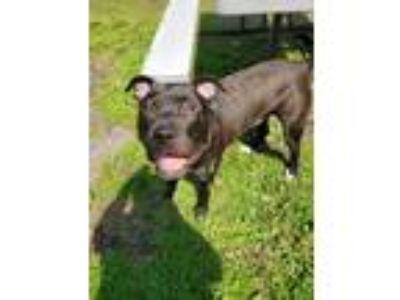 Adopt Ziggy a American Staffordshire Terrier
