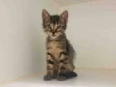 Adopt COLE a Brown Tabby Domestic Shorthair / Mixed (short coat) cat in Texas