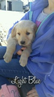 Golden Retriever PUPPY FOR SALE ADN-70116 - AKC Registered Golden Retriever Puppy