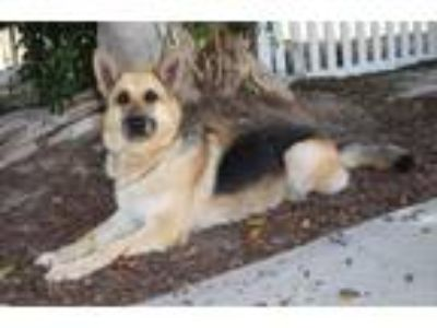 Adopt Hoffin a Black - with Tan, Yellow or Fawn German Shepherd Dog / Mixed dog