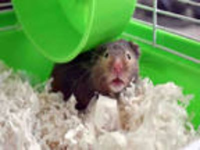 Adopt BONNIE a Brown or Chocolate Hamster / Mixed small animal in Ft Lauderdale