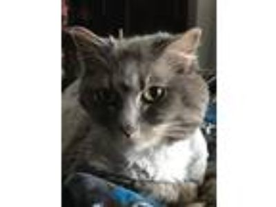 Adopt Isabelle a Gray or Blue Manx / Mixed cat in Overland Park, KS (23164827)