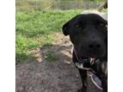 Adopt LuLu a Brown/Chocolate Pit Bull Terrier dog in Tuskegee, AL (24449020)