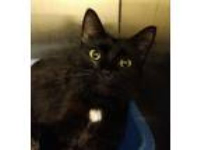 Adopt Egypt a Domestic Short Hair