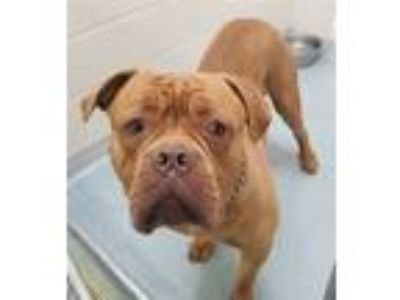 Adopt Rich a Dogue de Bordeaux / Mixed dog in Atlantic City, NJ (25565971)