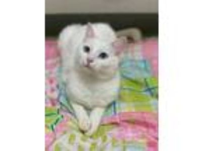 Adopt Ariana a White Domestic Shorthair / Domestic Shorthair / Mixed cat in