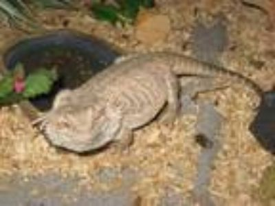 Adopt Smuckers a Bearded Dragon