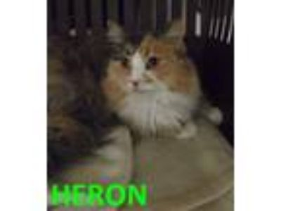 Adopt HERON a All Black Domestic Longhair / Domestic Shorthair / Mixed cat in