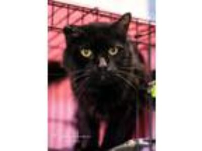 Adopt Blake a Domestic Medium Hair