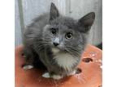 Adopt Katherine 6 a Russian Blue / Mixed cat in Austin, TX (25821198)