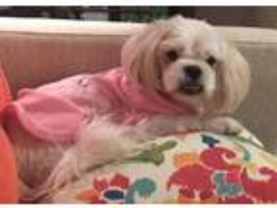 Adopt Lacie a White - with Tan, Yellow or Fawn Lhasa Apso / Shih Tzu / Mixed dog