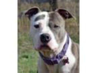 Adopt Lucy a Brindle - with White American Staffordshire Terrier / Mixed dog in
