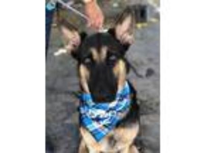 Adopt Ramsey a Black German Shepherd Dog / Mixed dog in Fresno, CA (25874640)