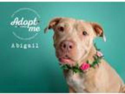 Adopt Abigail a Shar Pei, Pit Bull Terrier