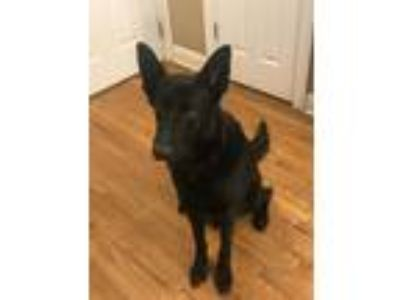 Adopt Tyson a Black German Shepherd Dog dog in Cumming, GA (25876129)