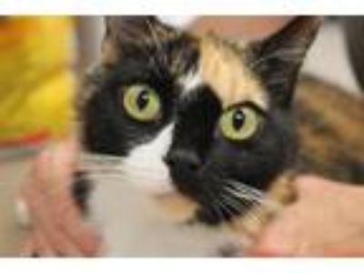 Adopt Dahlia a Domestic Shorthair / Mixed cat in Salisbury, MD (25644034)