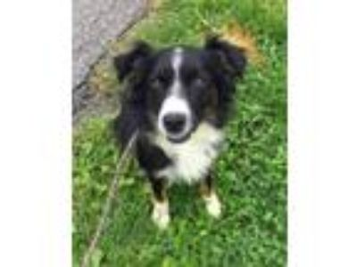 Adopt Cash a Border Collie