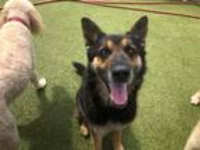 Adopt Hugh Hefner a Black - with Tan, Yellow or Fawn German Shepherd Dog / Mixed