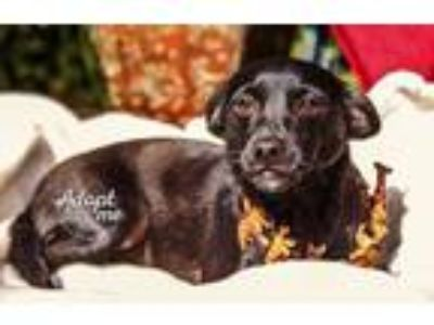 Adopt Rufio a Patterdale Terrier / Fell Terrier, Pug