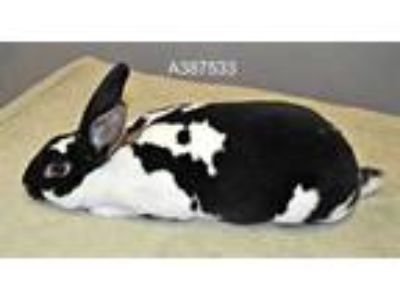 Adopt RUBY a Fawn Rex / Mixed rabbit in St. Peters, MO (25907846)