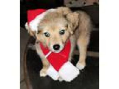 Adopt Benny - I'm an adorable puppy a Black - with Tan, Yellow or Fawn Spaniel