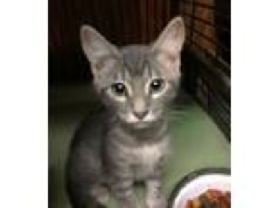 Adopt Number One a Gray or Blue Domestic Shorthair (short coat) cat in