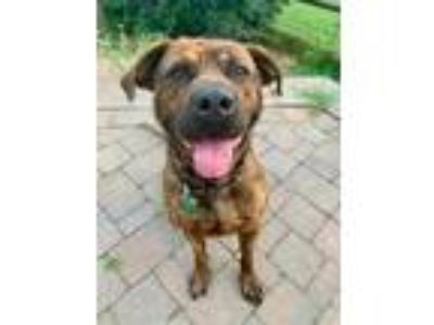 Adopt Otis a Brindle Mastiff / Mixed dog in Chester Springs, PA (24950932)
