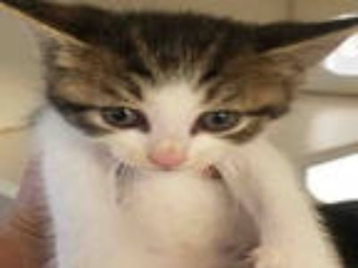 Adopt 864985 a White (Mostly) Domestic Shorthair / Mixed (short coat) cat in