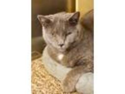Adopt Owen a Domestic Short Hair