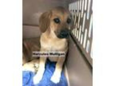 Adopt Hercules Mulligan a Tan/Yellow/Fawn Mastiff / Rottweiler / Mixed dog in