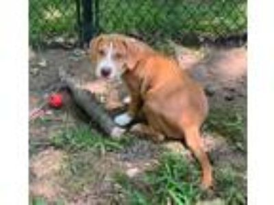 Adopt CHUBBY (ADOPTION PENDING) a Tan/Yellow/Fawn - with White Basset Hound /