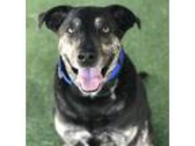 Adopt Vinny a German Shepherd Dog / Labrador Retriever / Mixed dog in Oceanside
