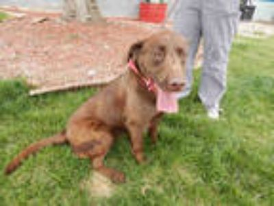 Adopt ANNABELL a Brown/Chocolate Labrador Retriever / Mixed dog in Casper
