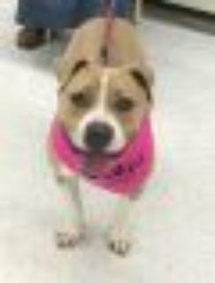 Sweetie Boxer - Terrier Dog