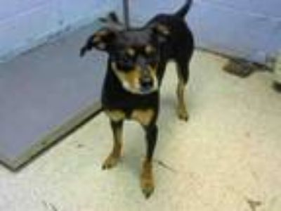 Adopt KEANU a Doberman Pinscher, Mixed Breed