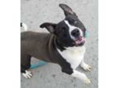 Adopt Hank a Black - with White Pit Bull Terrier / Labrador Retriever / Mixed
