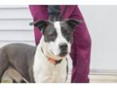 Adopt Nanna a Black Pit Bull Terrier / Border Collie / Mixed dog in Mountain